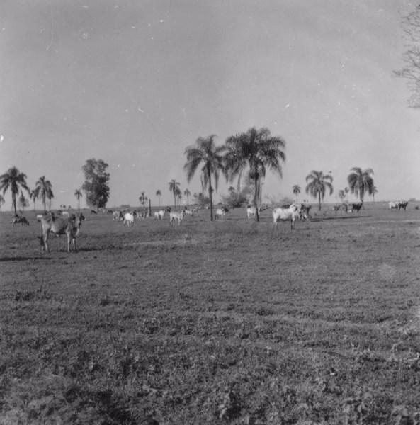 Gado, em vila de Guapiaçu (SP) - 1957