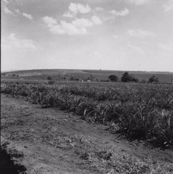 Plantação de abacaxi em Batatais (SP) - 1957