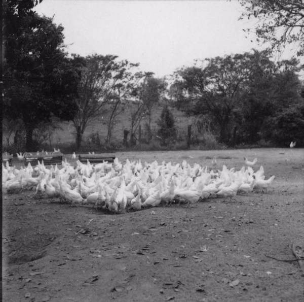 Criação de galinhas : Colônia da Vila Varpa (SP) - 1957