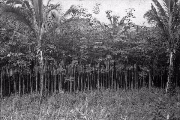 Viveiro de seringueiras na estação experimental de Ubatuba (seringueiras de 5 a 6 anos) (SP) - 1958