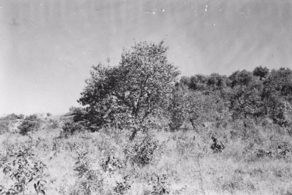 Município de Sorocaba, vegetação de cerrado ao norte da cidade, solo arenoso, de cor vermelho bem viva (SP) - 1958