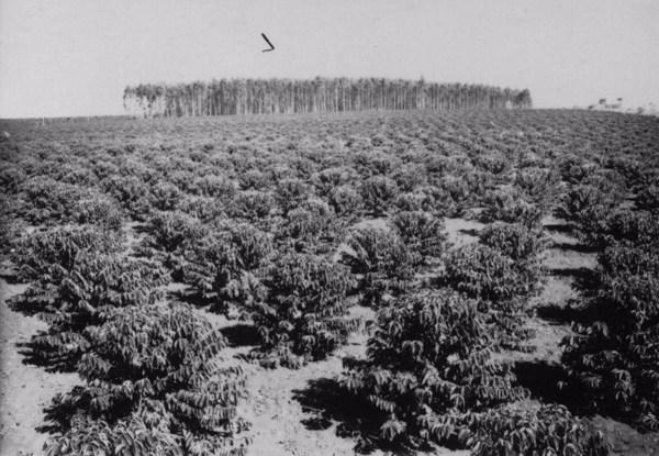 Município de Boituva. Fazenda Bom Retiro. Cafezal novo, ao fundo o eucaliptal (SP) - 1958