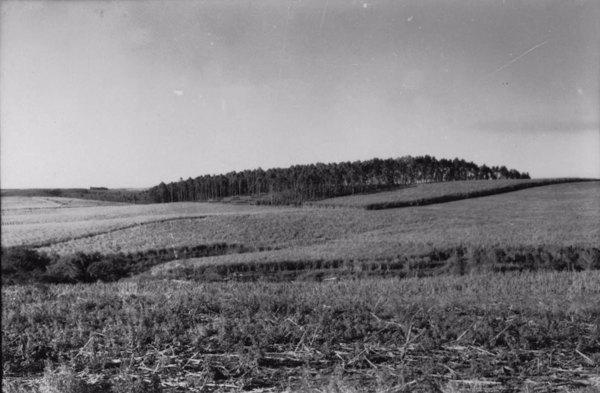 Município Porto Feliz : Fazenda Palmital, vendo-se um grande canavial, e reflorestamento de eucaliptos e exploração de madeira (SP) - 1958