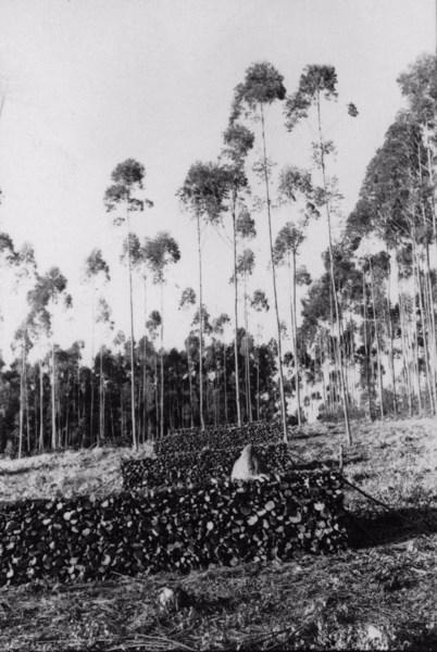 Exploração da lenha num eucaliptal da fazenda Palmital, no município de Porto Feliz (SP) - 1958