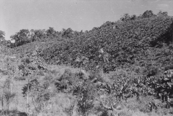Município de Registro : a 12 Km ao norte de Sete Barras começam a aparecer alguns bananais, plantados em terrenos declivosos : altura da foto 115 m (SP) - 1958