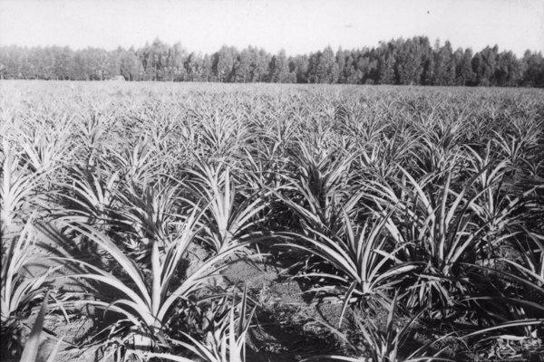 Abacaxizal, vendo-se reflorestamento com eucaliptos ao fundo : município de Itu - 1958