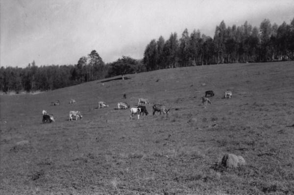 Gado pastando, vendo-se ao fundo o eucaliptal : Município de Lindóia (SP) - s.d.