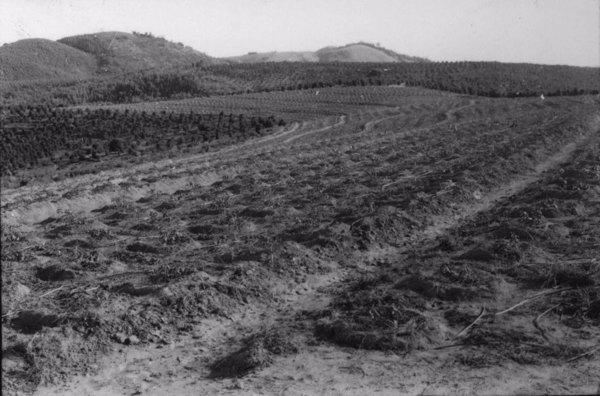 Cafezal plantado em curvas de nível : Município de Itapira (SP) - s.d.