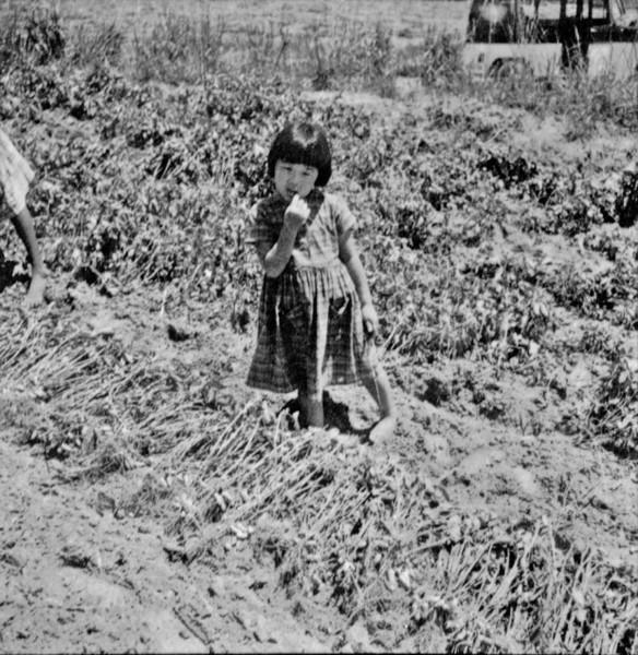 Lavrador colhendo amendoim em Presidente Bernardes (SP) - 1960