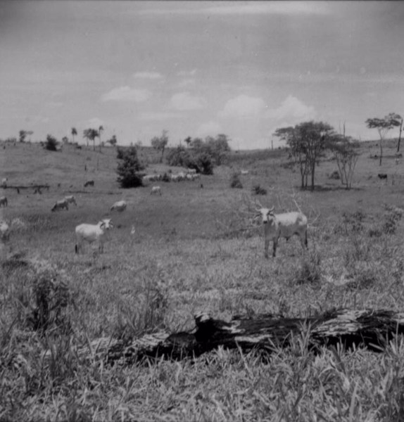 Invernada de gado matogrossense em Presidente Venceslau (SP) - 1960