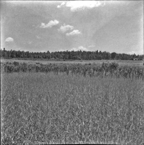 Reflorestamento à base de aucalipto : Município Andradina (SP) - 1960