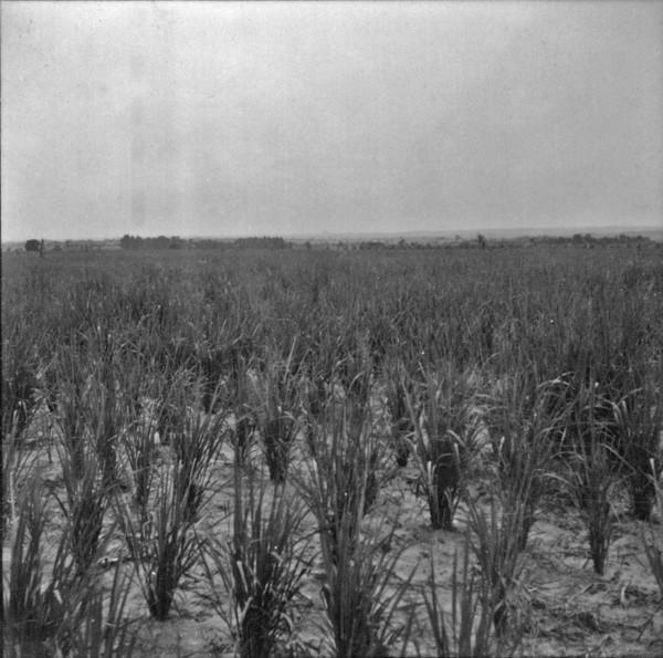 Cultura de arroz tipo montanha : Município Ipiguá (SP) - 1960