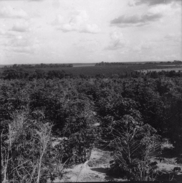 Panorâmica : Relevo ondulado : cafezais novos e velhos : Município de Pindorama (SP) - 1960
