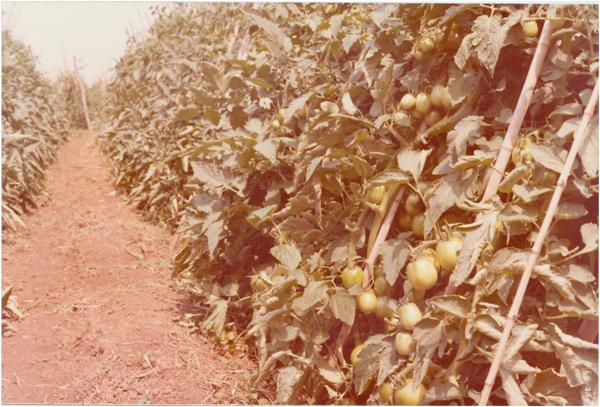 Lavoura de tomate : Goianápolis, GO - 1983