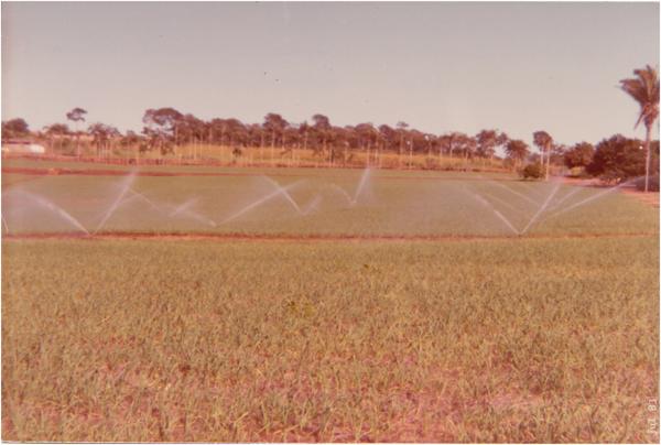 Plantação de alho : Nerópolis, GO - 1983
